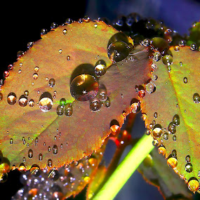 rose leaves by Capucino Julio - Nature Up Close Leaves & Grasses ( water, rose, nature, leaves, flower, droplets )