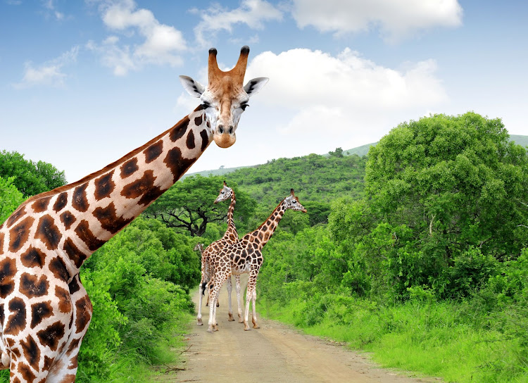 Giraffes in the Kruger National Park.