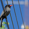 Chora-chuva-preto (Black-fronted Nunbird)