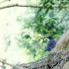 Blue Whistling Thrush 紫嘯鶫