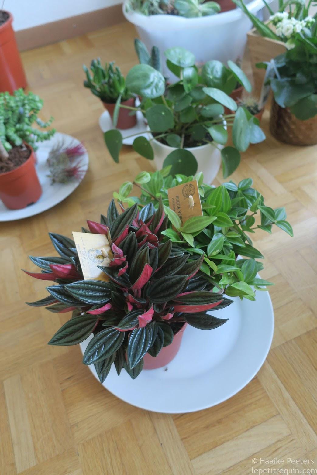 Peperomia angulata rocca verde en Peperomia caperata rosso (Le petit requin)
