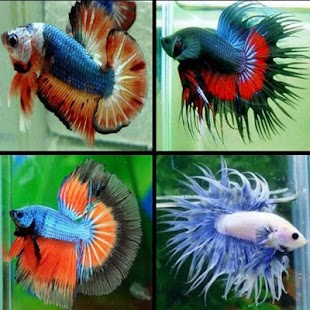 Jenis Ikan Cupang - náhled