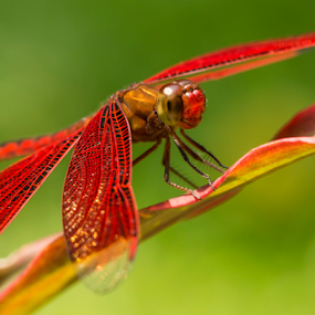 Red... by Happy Sugianto - Animals Insects & Spiders ( canon, macro, nature, passion, garden )