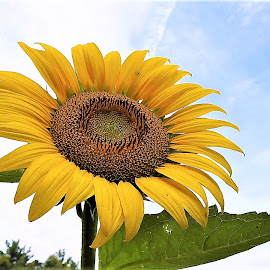 Sunflower by Mary Gallo - Flowers Single Flower (  )