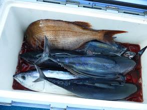 Photo: オガワさんの釣果!まず下の方にホンガツオが5匹・・・