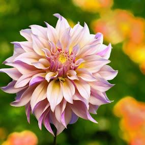 Purple & lavender Dahlia by Jim Downey - Flowers Single Flower ( orange, dahlia, yellow, purple, lavender )
