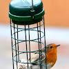 European Robin; Petirrojo