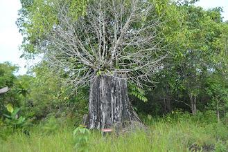 Photo: albero cresciuto su un albero morto