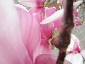 Photo: The back of a pink magnolia flower at Wegerzyn Gardens in Dayton, Ohio.