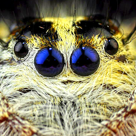 °●●° by Ahmad Barokah - Animals Insects & Spiders ( animals, jumping spider, macrophoyography, spider, insects )