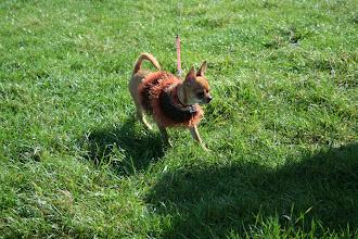 Photo: Chico Chihuahua!
