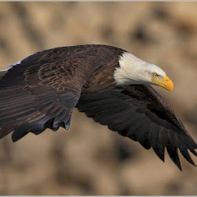 Adult Eagle In Flight... by Jamie Link - Animals Birds ( wild, mississippi river eagle watching, lock and dam 14, wildlife photography, bald eagle, eagles, eagle fishing, davenport iowa, north american bald eagle, national geographic, mississippi river, army core of engineers, raptors, birds in flight )