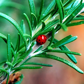 by Zoran Nikolic - Nature Up Close Leaves & Grasses ( colour, leavs, red, green, ladybug.,  )