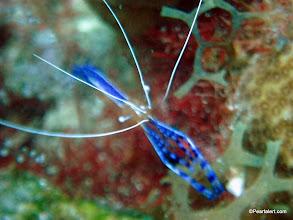 Photo: Pederson Cleaner Shrimp, mostly inhabits corkscrew anemones