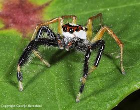 Photo: Jumping spider (Salticidae). Tankoko National Park, Sulawesi, Indonesia.2012. Copyright George Beccaloni