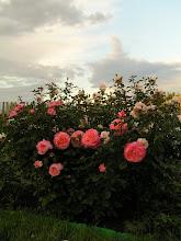 Photo: Augusta Luise (Tantau)