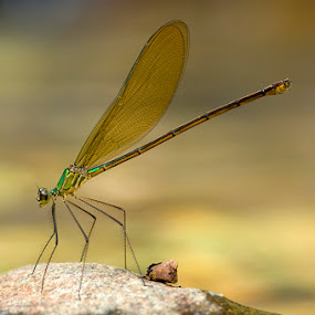 Long Leg Dragonfly by Yan Kebak - Animals Insects & Spiders