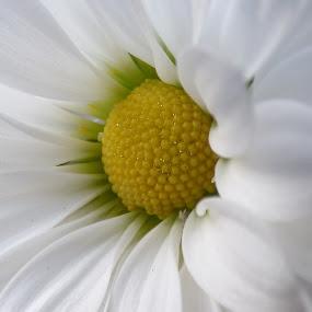 daisy by Nick Parker - Flowers Single Flower ( macro, daisy,  )