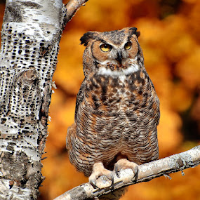 Howell Owl by Vickie Barnhill - Animals Birds