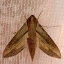 Hawk Moth (♂)