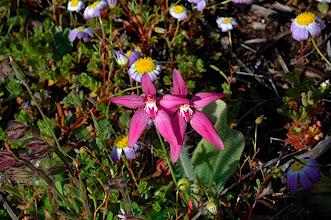 Photo: Caladenia latifolia