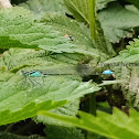 Scarce blue-tailed damselfly or Small bluetail