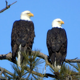 BIRDS OF PREY by Cynthia Dodd - Novices Only Wildlife ( animals, trees, wildlife, eagles, birds, tree tops )