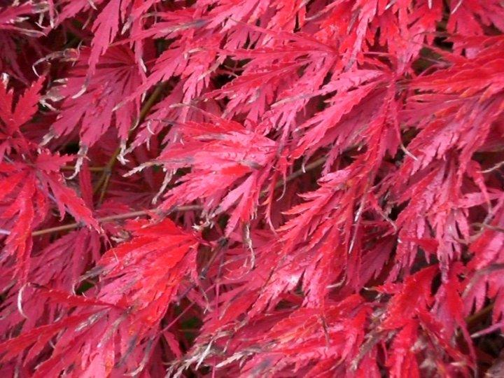 Acero rosso di peperino