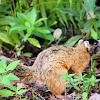 Mangrove fox squirrel