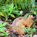 Mangrove fox squirrel