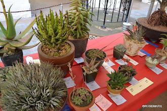 Photo: Haworthia, Aloe