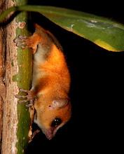 Photo: to a tiny mouse lemur