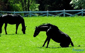 Photo: Rappen = schwarze Pferde
