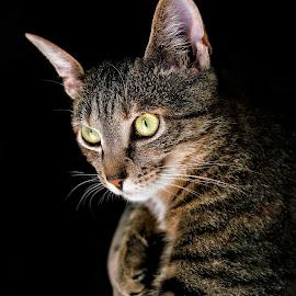 Kemma by Robert Mullen - Animals - Cats Portraits ( cats, kitten, cat, house pet, pet, feline, portrait,  )