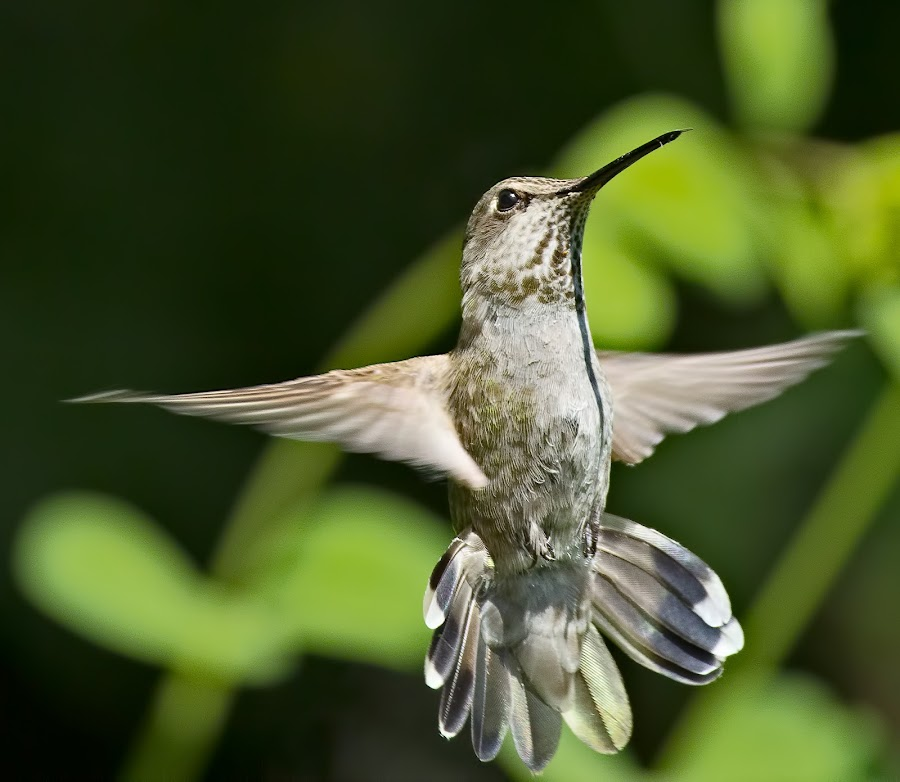 Hummingbird by Sheldon Bilsker - Animals Birds ( bird, nature, hummingbird )