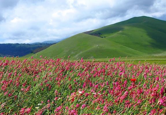 fiori di montagna di Thomasina