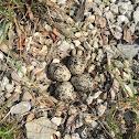 Killdeer with nest and eggs