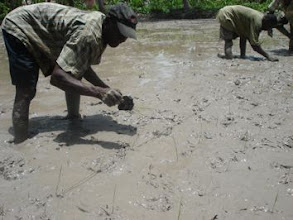 Photo: Transplanting training with a string in Les Cayes, June 2010 [Photo by Joeli Barison]