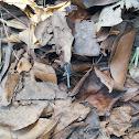 Chalky Percher or Ground Skimmer
