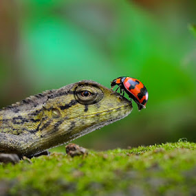 Numpang Liwat by Cibo Heriansyah - Animals Insects & Spiders ( reptiles, lizard, macro, insect, lady bug, animal )