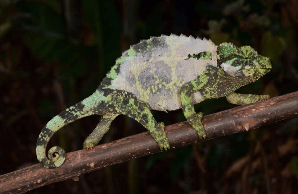 Image result for shedding veiled chameleon