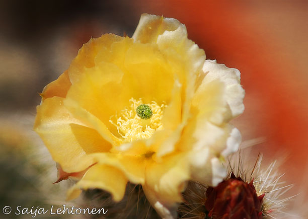Photo: It's a good Friday morning!!  Saija Lehtonen Photography  #CactusFlower #FloralFriday #Floral #MAcro #Nature #Photography #Arizona