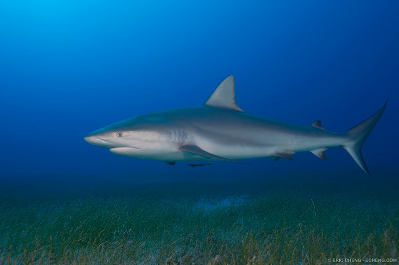 Photo: A Caribbean reef sharks over a bed of sea grass just before sunset. Bahamas.