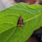 Omnivorous leafroller