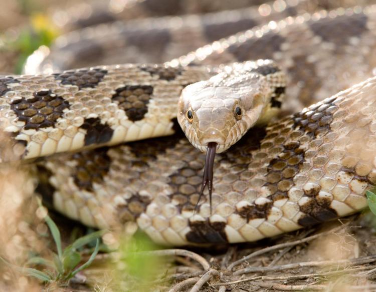 Image result for western fox snake