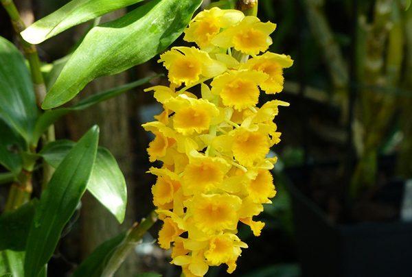 Phong lan vàng