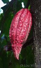 Photo: Cocoa Matale Sri lanka