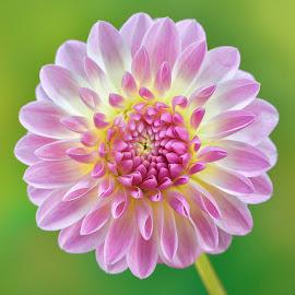 Purple Garden Flower by Jim Downey - Flowers Single Flower ( green, dahlia, yellow, purple, retals )