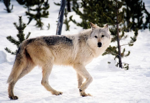 Gray Wolf Wallpaper Images