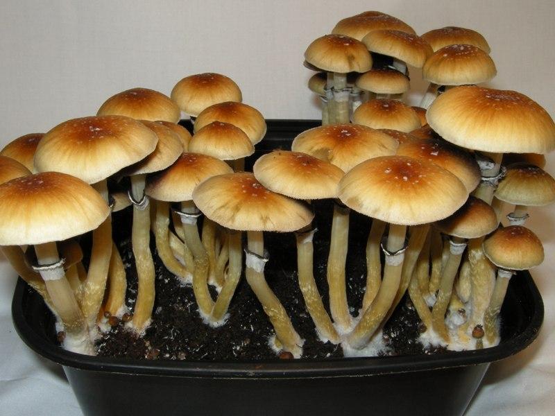 BUY MAGIC PSILOCYBIN AND PSILOCIN MUSHROOMS ONLINE – magic mushroom